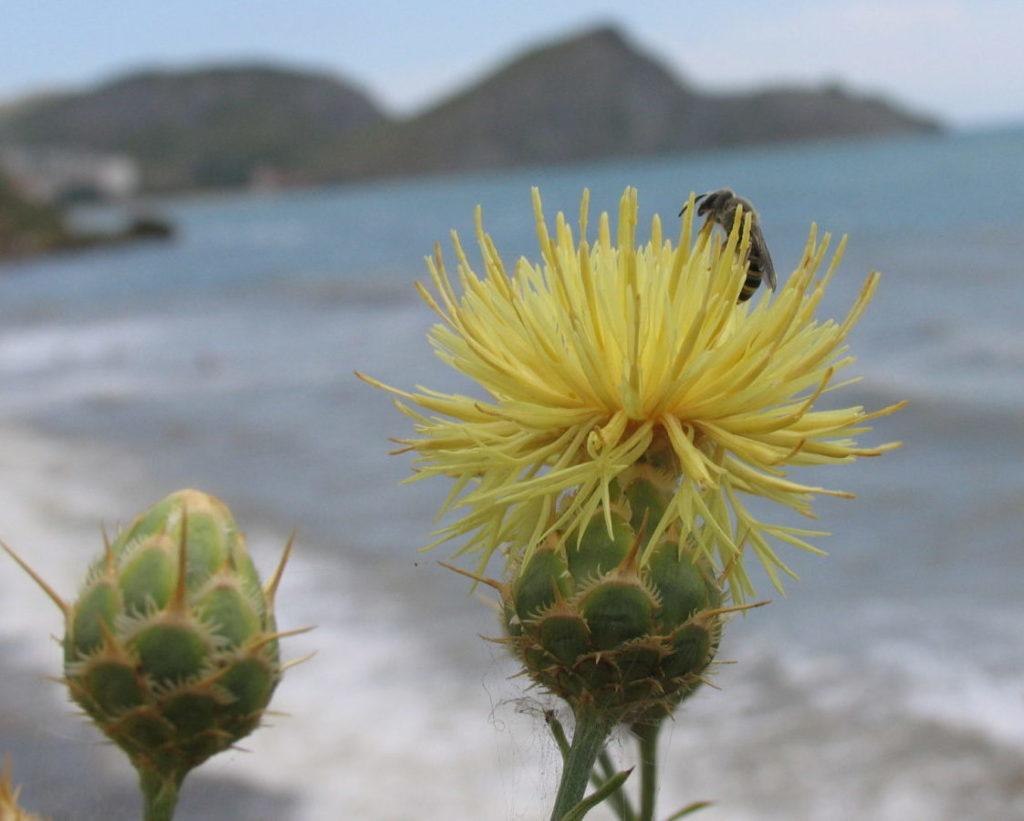 Цветок Василек фото, описание, применение, сорта