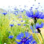 Василек садовый многолетний