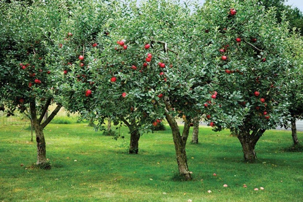 низкорослые плодовые деревья для сада фото и названия них