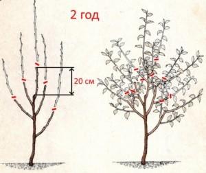Обрезка яблонь в 2 года