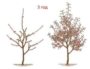 Обрезка яблонь в 3 года