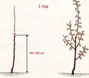 Обрезка яблонь в 1 год