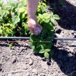 чем подкормить ежевику весной для хорошего урожая