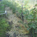 чем удобрять ежевику весной для увеличения урожая