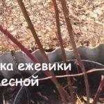 ежевика садовая обрезка весной