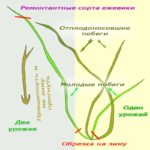 формирование куста ежевики садовой
