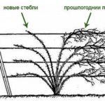 как формировать ежевику весной