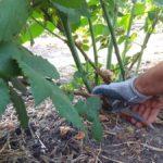 как обрезать ежевику весной чтобы был хороший урожай