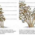 как обрезать садовую ежевику