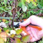 обрезка ежевики осенью