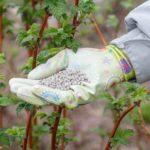 весенние удобрения для малины ежевики смородины